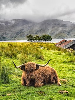 Highland Cow, Cow, Scotland, Cattle, Livestock, Field