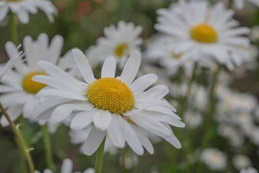 Mage Rites, Flowers, Daisy, Yellow Flower, Close Up