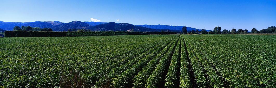 Green Tea Plantation, Deulbat, Nature