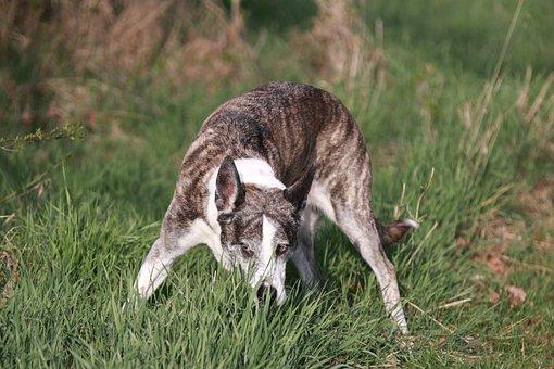 Dog, Sniffing, Tracking, Pet, Canine, Animal
