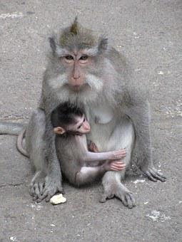 Monkey, Baby Monkey, Macaque, Primates, Ape, Families