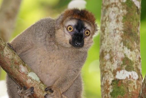 Animals, Red-fronted Lemur, Female