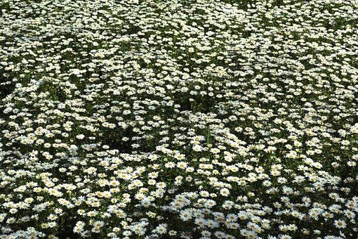 Daisy, Flower, Spring, Summer, Outdoor, Growth