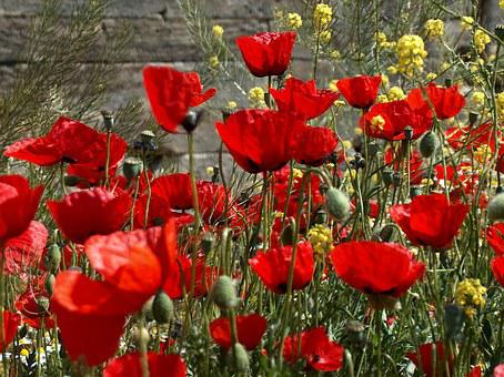Flowers, Poppies, Rossi, Poppy, Red, Field, Meadows