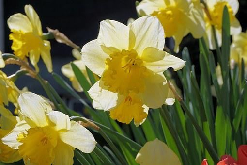 Narcissus, Flowers, Narcissus Pseudonarcissus
