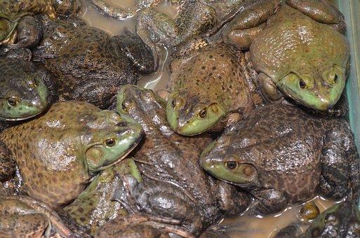 Frog, Frogs, Amphibian, Food, Pet, Tadpole, Adult