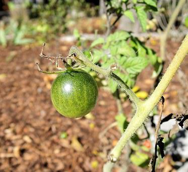 Green Tomatoe, Garden, Wild Shrub, Edible Fruit, Gree