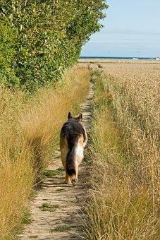 Dog, German Shepherd, Alsatian, Gsd, Pet, Animal