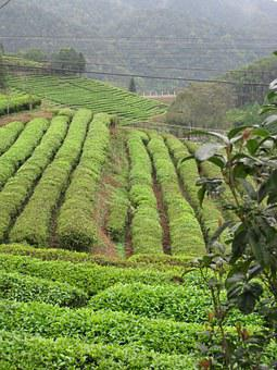 Tea, Collection, Plantation, The Fields, Field, Harvest