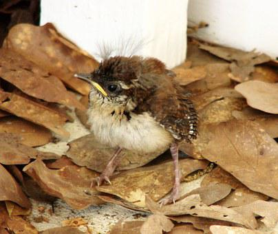 House Wren, Chick, Baby, Bird, Fledglings, Backyard
