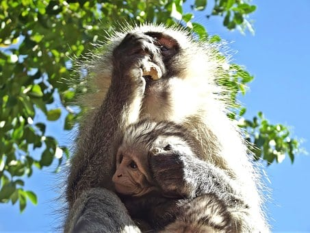 Monkey, Vervet, Baby, Infant, South Africa