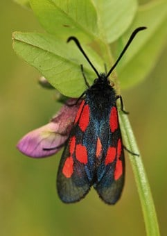 Beetle, Insect, Insect Macro, Burnet, Nature, Close Up