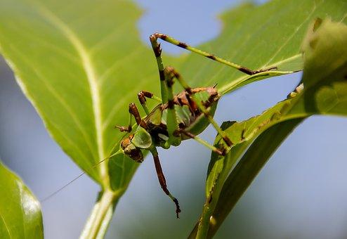 Katydid Nymph, Grasshopper, Mottled Katydid, Green