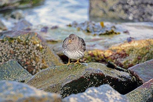Birds, Ocean Beach Runner, North Sea, Kiwi-bird