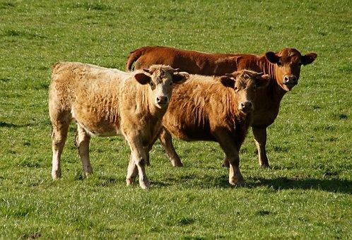 Beef, Bull, Pasture, Brown, Food, Ruminant, Livestock