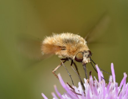 Insects, Diptera, Bombylius, Lower