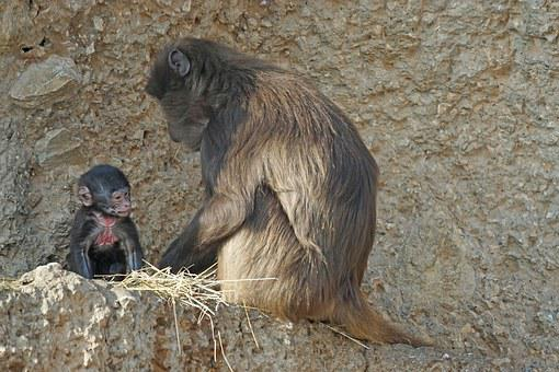 Dschelada, Monkey, Primate, Mammal, Mother, Ape Baby