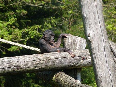 Gorilla, Young, Baby, Ape, Monkey, Primate, Zoo
