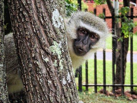 Monkey, Vervet, Animal, Wild Animal, Monkey Family