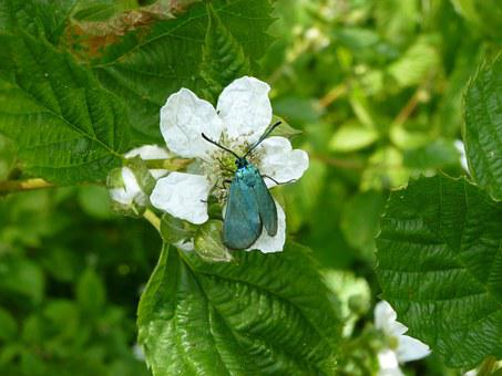 Mean Green Burnet, Butterfly, Moth, Sorrel Green Burnet