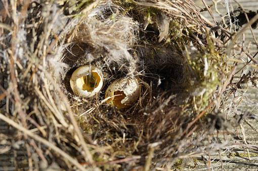 Bird Eggs, Nest Robbers, Nest, Egg, Two, Elster, Scrim