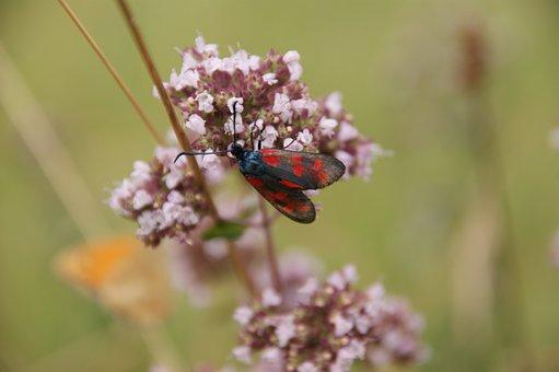 Six Moth, Burnet, Insect, Plant, Close Up, Blossom