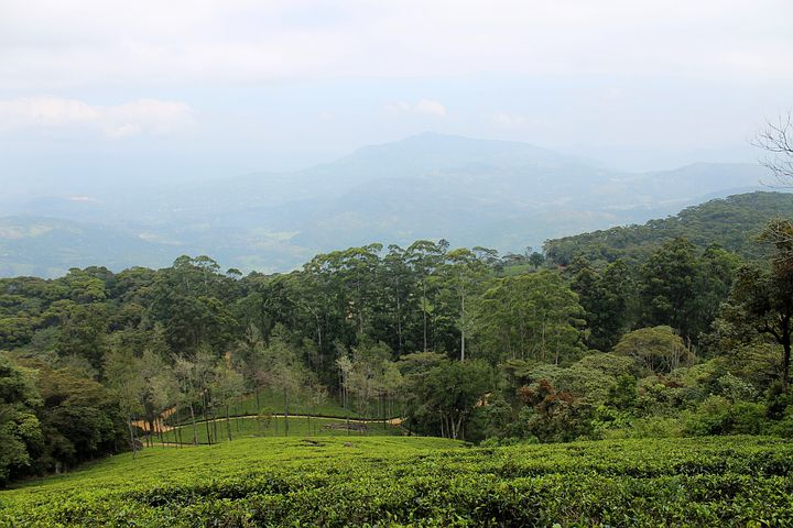 Tea Estate, Plantation, Tea, Estate, Green, Landscape