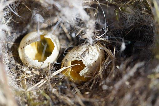 Bird Eggs, Nest Robbers, Nest, Egg, Two, Elster, Scrim