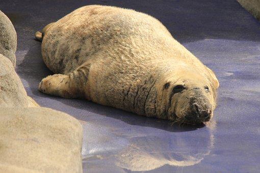 Seal, Basking, Wildlife, Animal