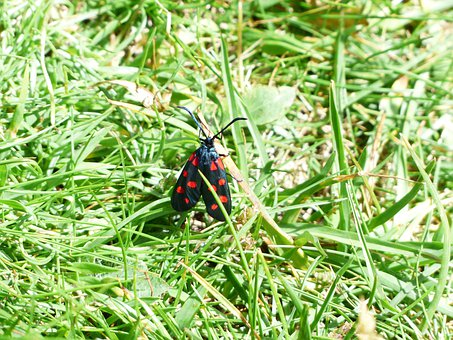 Butterfly, Red, Black, Spotted, Six Moth