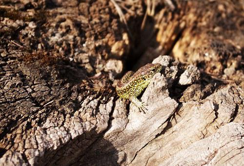 Sand Lizard, Root, Heat, Basking, Summer
