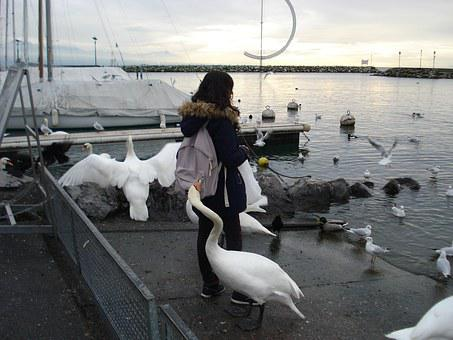 Thief, Swans, The Thief, Sneak Thief, Lake Geneva