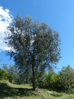 Tree, Olive Tree, Olea Europaea, Real Tree, Olea