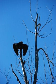 Turkey Vulture, Tree, Sky, Shadow, Blue Sky, Bird, Fly