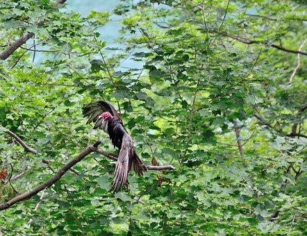 Turkey Vulture, Vulture, Bird, Wildlife, Tree