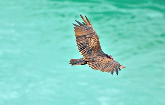 Turkey Vulture, Vulture, Bird, Wildlife, Niagara River