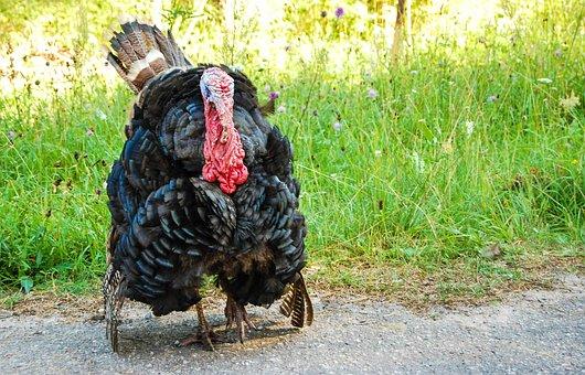 Turkey, Bird Watching, Living Nature, Animal, Beak