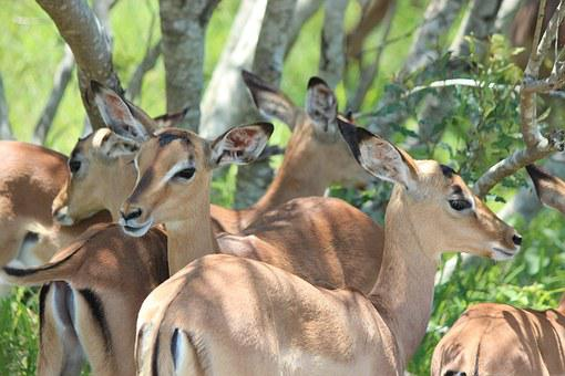 Impala, Wildlife, Animal, Mammal, Safari, Wild