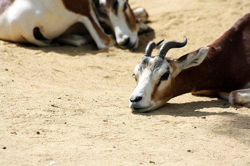 Dama Gazelle, Gazelle, Zoo, Animals, Mammals, Rest