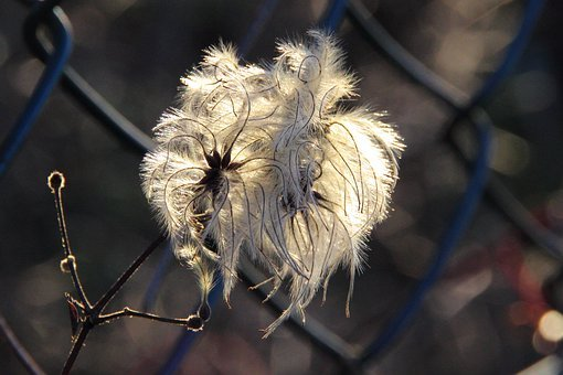 Blossom, Bloom, Sun, Plant, Feather Duster, Wild Growth
