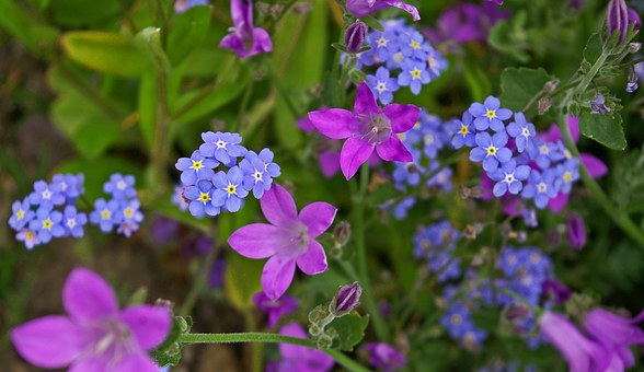 Violet, Bellflower, Purple, Blue, Flower, Blossom