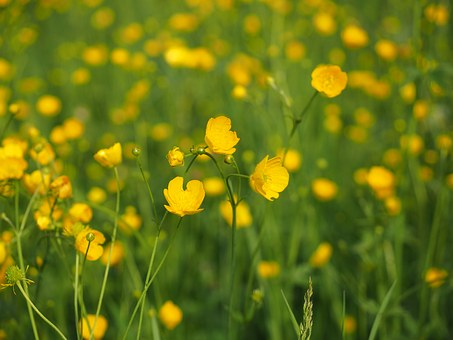 Buttercup, Pointed Flower, Flowers, Yellow, Ranunculus