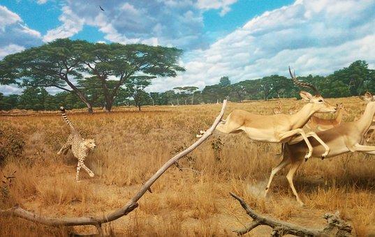 Cheetah, Gazelle, Hunting, Running, Chasing, Cat