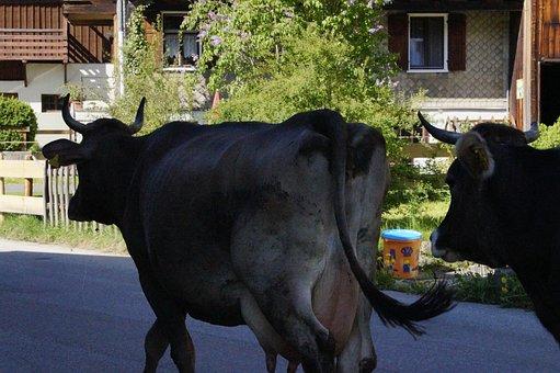 Cow, Cows, Streets Cows, Way Home, Allgäu, Farm, Summer