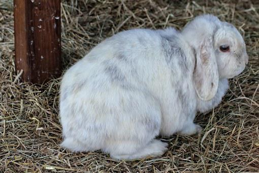 Rabbit, Dwarf Rabbit, Hare, White, Hay, Pet, Cute