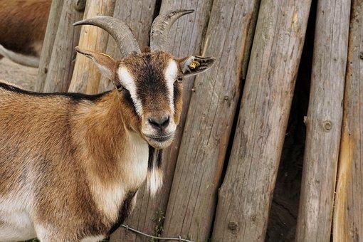 Goat, Dwarf Goat, Pet, Zoo, Animal, Nature, Farm