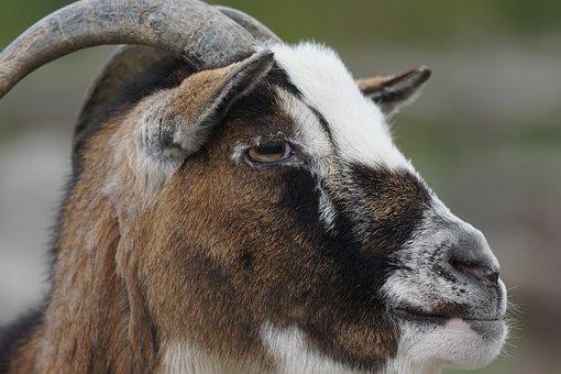 Dwarf Goat, Goat, West Africa, Close Up, Ruminant