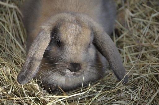 Dwarf Hare, Brown, Floppy Ear, Food
