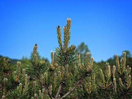 Pine Needles, Dwarf Pine, Needle Tip, Needles, Pine