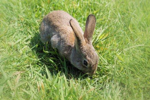 Hare, Rabbit, Long Eared, Dwarf Rabbit, Easter
